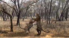 Walka tygrysów. Nagranie ze spotkania drapieżników
