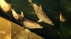Delfiny w tureckiej metropolii. Nagranie mieszkańca