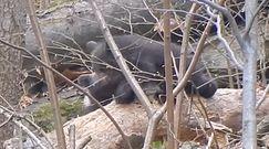 Spacer niedźwiedziej rodziny. Nagranie z Baligrodu