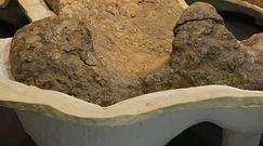 Największy dinozaur Australii. Sensacyjne odkrycie nowego gatunku
