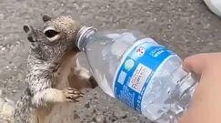 Wiewiórka z butelką. Turyści nagrali, co zrobiła