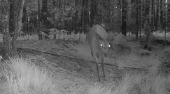 Nocne zabawy jeleni. Kto nie skoczy tego skucha!