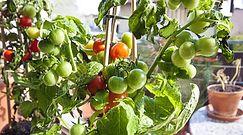 Uprawa pomidorów na balkonie. Jak sprawić, aby były soczyste i smaczne