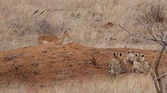 Ciekawska impala wpadła w pułapkę. Nagranie z Parku Narodowego Krugera