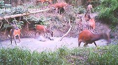 Zabawa w wodzie stada jeleni. Ochłoda w upalne dni