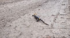 Uwaga, salamandra! Nagranie leśnika z Baligrodu