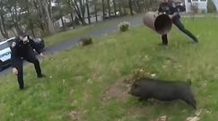 W pogoni za świnią. Nietypowa akcja policji