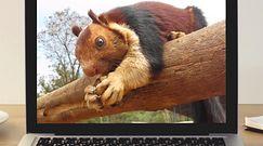 Wiewiórka gigant. Nagranie przypadkowego świadka