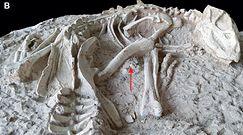 """""""Wieczny śpiący z Liaoning"""". Nowy gatunek dinozaura odkryty przez naukowców"""