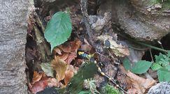 Salamandra plamista chowa się przed zimą. Nagranie rzadkiego płaza z Bieszczad