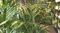 Uprawa roślin tropikalnych. Zapamiętaj proste triki i uważaj na najczęstsze błędy
