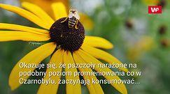 Napromieniowali pszczoły, jak te w Czarnobylu. Obserwacje są niepokojące