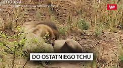 Walka lwów. Nagranie z Parku Narodowego Krugera