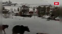 Psy kontra niedźwiedź. Stanęły w obronie mieszkańców