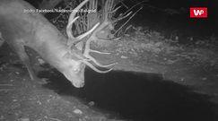 Nocny ryk jelenia. Niezwykłe nagranie z Bieszczad