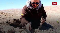 Drapieżnik z odmętów prehistorii. Zaskakujące odkrycie na pustyni w Chile