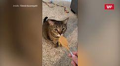 Kot niejadek. Dosłownie nic mu nie smakuje