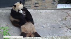 Te pandy są bardzo rozrywkowe!