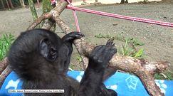 Osierocona dwumiesięczna małpka stawia swoje pierwsze kroki