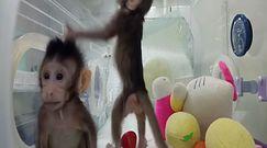 """Chińczycy sklonowali małpy. """"Bariera naczelnych została złamana"""""""