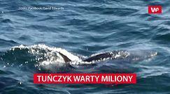 Tuńczyk warty miliony