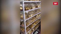 13 ton złota znalezionych w piwnicy