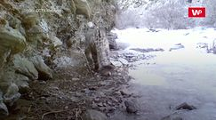 Pantera śnieżna w oku kamery