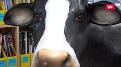 Na uczelni stanęła krowa do dojenia. Fenomen na skalę całej Polski
