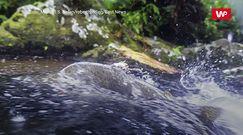 Inwazja różowego łososia. Rodzime ryby zagrożone