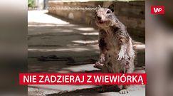 Nie zadzieraj w wiewiórkami. Wcale nie są takie słodkie i bezbronne