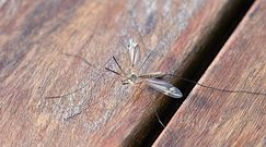 Witamina, która odstrasza komary