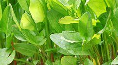 Rośliny, które zawierają kwas szczawiowy