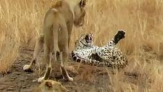 Jest przewodniczką safari. Takiej sceny nigdy nie widziała