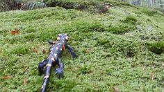 Spotkanie z salamandrą. Wiosenny spacer jaszczurki po leśnym mchu.