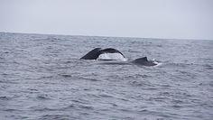 Nie widziano ich 40 lat. Powrót Wielorybów na wody Antarktydy