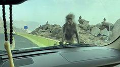 Kierowca nakarmił małpę. Nagranie z Arabii Saudyjskiej