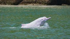 Rzadki gatunek delfinów powrócił. Pomogła w tym pandemia koronawirusa