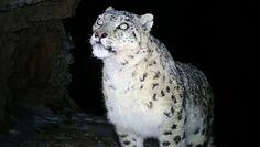Pantera śnieżna w parku narodowym. Nagranie z kamery leśnej