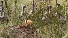 Kradziony posiłek. Lew kontra sępy kontra gepard