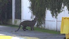 Dzika puma w Chile. Kolejny taki przypadek na ulicach Santiago