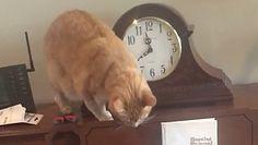 Kot na pianinie. Zabawne nagranie właściciela
