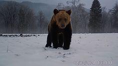 Bieszczadzki niedźwiedź dostrzegł fotopułapkę. Jego reakcja była zaskakująca