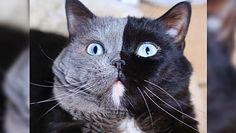 Kot o dwóch twarzach. Dziwny kocur został ojcem