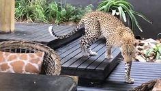 Dziki kot w restauracji. Turyści na tarasie przecierali oczy ze zdumienia
