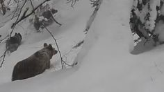 Oko w oko z niedźwiedziem. Niezwykłe nagranie z Bieszczad