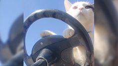 Kot kierowca. Hit internetu. Nagranie, które trzeba obejrzeć