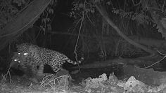 Jaguar kontra ocelot. Fotopułapka zarejestrowała coś przerażającego