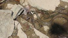 Wąż upolował rybę. Niezwykłe nagranie z Bieszczad