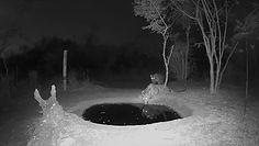 Dziki kot pije wodę. Komiczne nagranie z fotopułapki