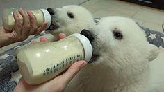 """Niezwykła """"rodzina zastępcza"""" niedźwiedzi polarnych z rosyjskiego Gelendzhik"""